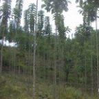pohon-jati-solomon-150x150-144x144