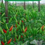 benih-cabe-rawit-hijau-144x144