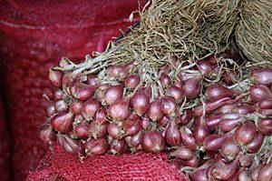 jual bibit bawang merah umbi
