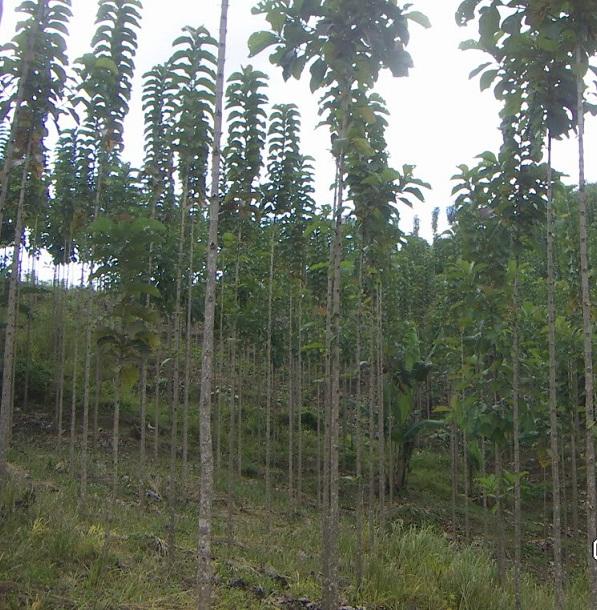 Pohon Jati Solomon