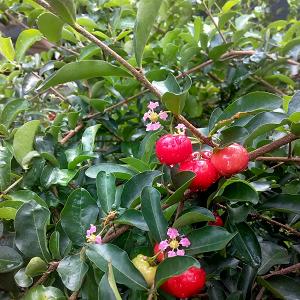 Bibit-Tanaman-Buah-Cherry-Vietnam