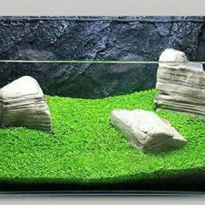 Bibit Benih Tanaman Air Carpet Seed Aquascape Aquarium