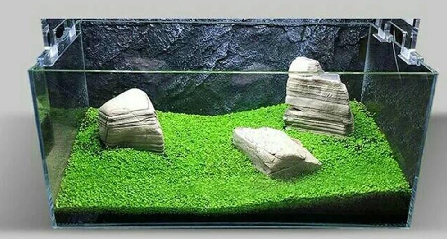 Jual Bibit Benih Tanaman Air Carpet Seed Aquascape ...