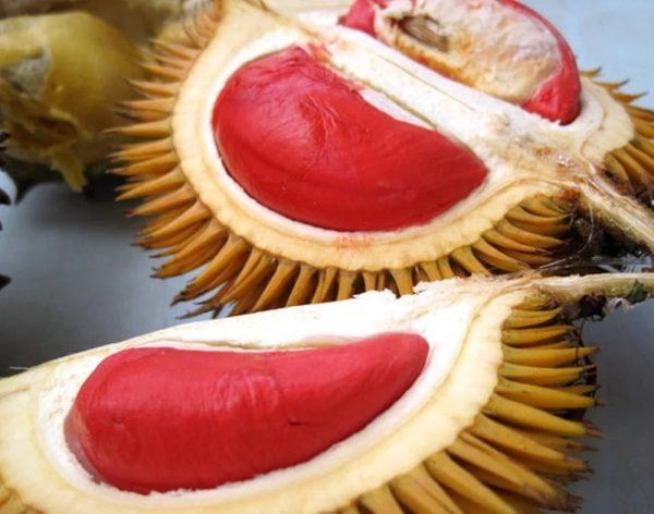 Durian Merah 60cm
