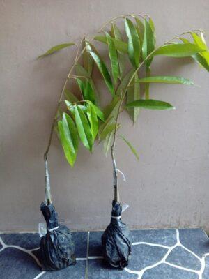 2 Durian Bawor