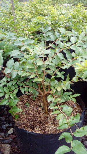 Jaboticaba/Anggur brasil(25 cm)