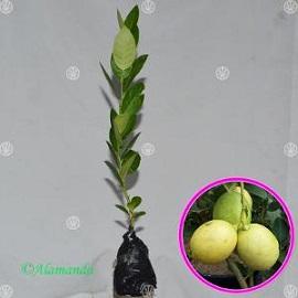 Tanaman Jeruk Lemon Tanpa Biji