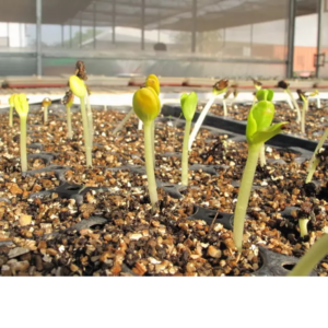 Vermiculite Gold (Media Tanam,Pengeraman Telur Reptil,dll)