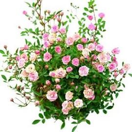 Tanaman Baby Rose 2 Pcs