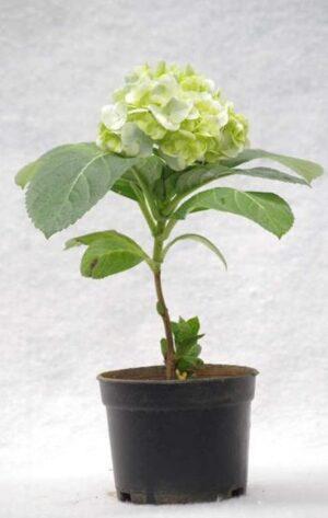 Tanaman Hydrangea Putih
