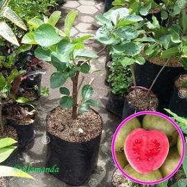 Tanaman Buah Jambu Biji Getas Merah (Cangkok)