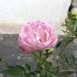 Tanaman Mawar Climbing Noisette (Pink)