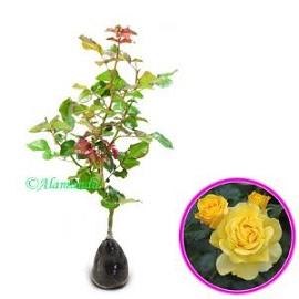 Tanaman Mawar Floribunda Kuning