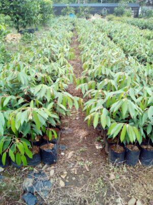 Paket 10 tanaman Durian Matahari