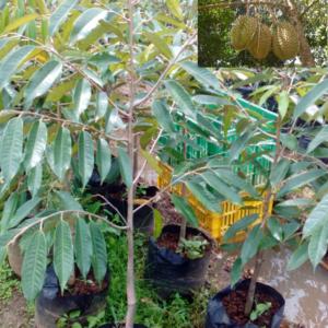 Bibit Durian Montong 40-50 cm