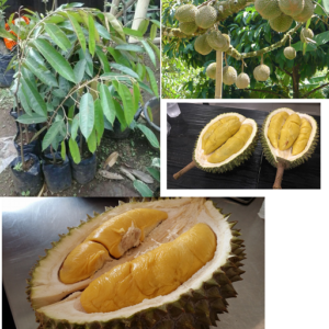 Bibit Durian Musang King 70 cm