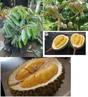 Bibit Durian Musang King 70 cm