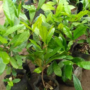 Bibit Miracle Fruit / Buah Ajaib (Synsepalum dulcificum)