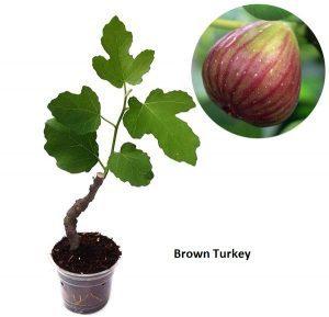 Tin Brown Turkey