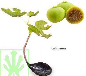 Tin Calimyrna