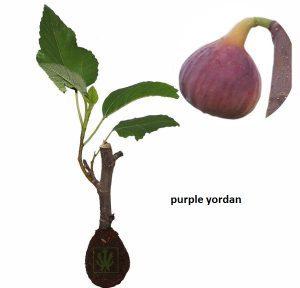 Tin Purple Yordan