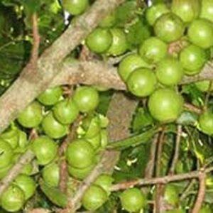 paket 10 kacang macadamia