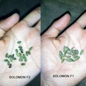 Sengon Solomon F1 100g