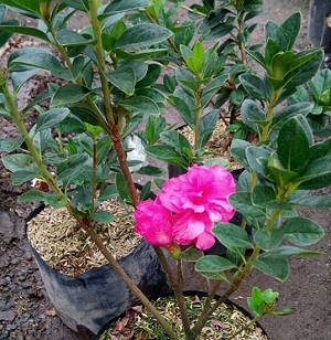 Bibit Bunga Azalea