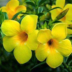 Bibit Tanaman Alamanda Kuning