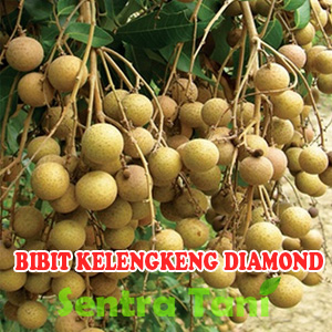 Bibit Kelengkeng Diamond