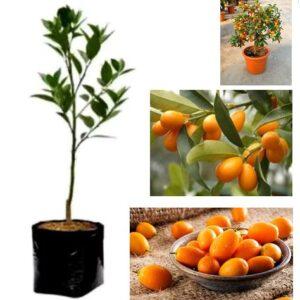 Jual bibit jeruk komquat nagami