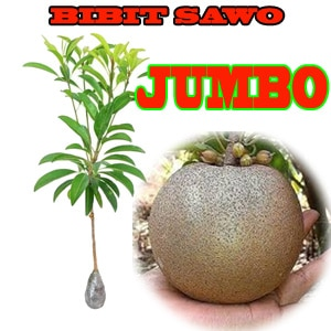 Bibit Sawo Jumbo