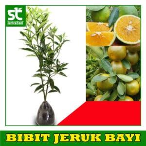 Bibit Jeruk Bayi / Jeruk Baby