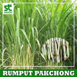 BIBIT RUMPUT PAKCHONG THAILAND