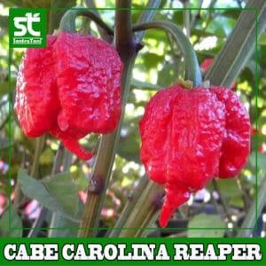 Benih Cabe Carolina Reaper