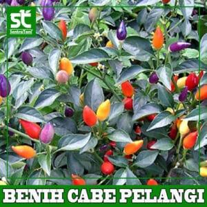 Benih Cabe Pelangi