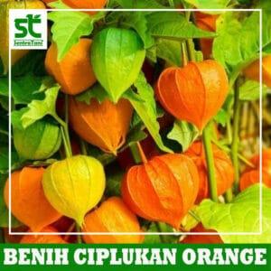 Benih Ciplukan Orange