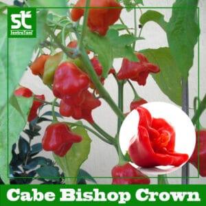Benih Cabe Unik Bishop Crown