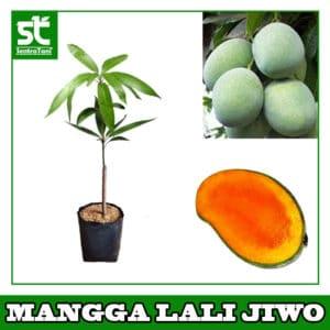 Bibit Mangga Lali Jiwo