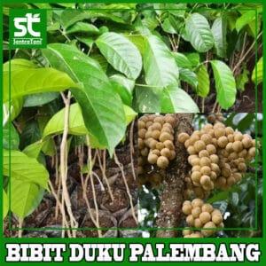 Bibit Duku Palembang