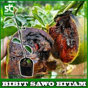 BIBIT SAWO HIATAM / BLACK SAPOTE