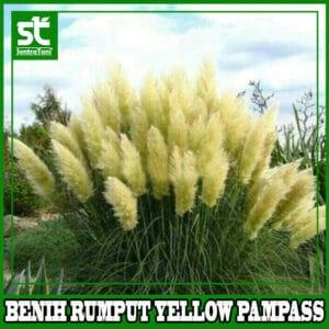 Benih Rumput Yellow Pampass