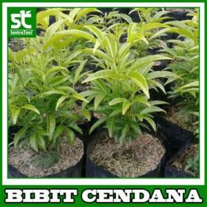 Bibit Cendana