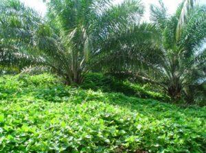 cover crop kelapa sawit