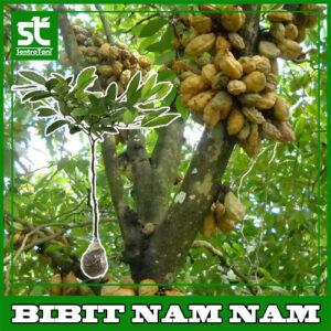 Bibit Buah Nam Nam / Kopi Anjing