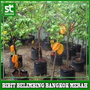 BIBIT BELIMBING BANGKOK MERAH
