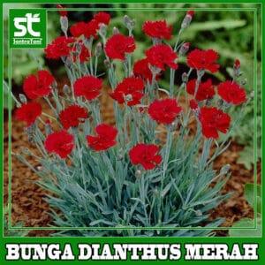 Tanaman Hias Dianthus Merah